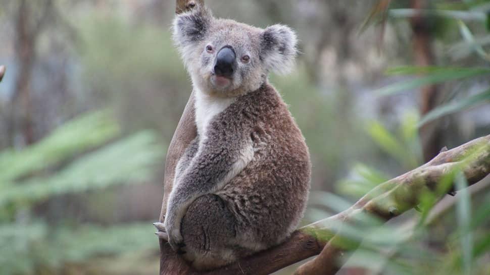 Koala population in Australia faces extinction by 2050