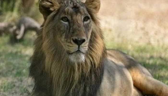 23 lions dead in Gir, forest officials on high alert