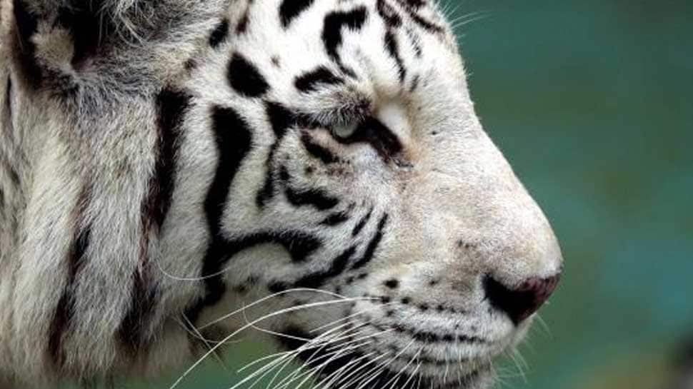 Rare white tiger kills zookeeper in Japan