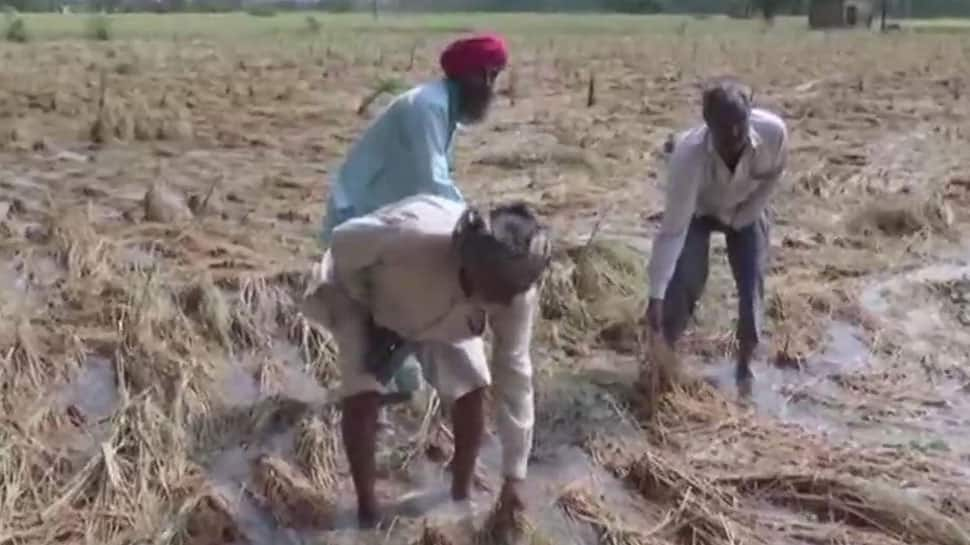 Ambala farmers protests after rain ruin paddy crops, demands compensation