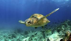 Global warming threatens 'feminization' of green sea turtles