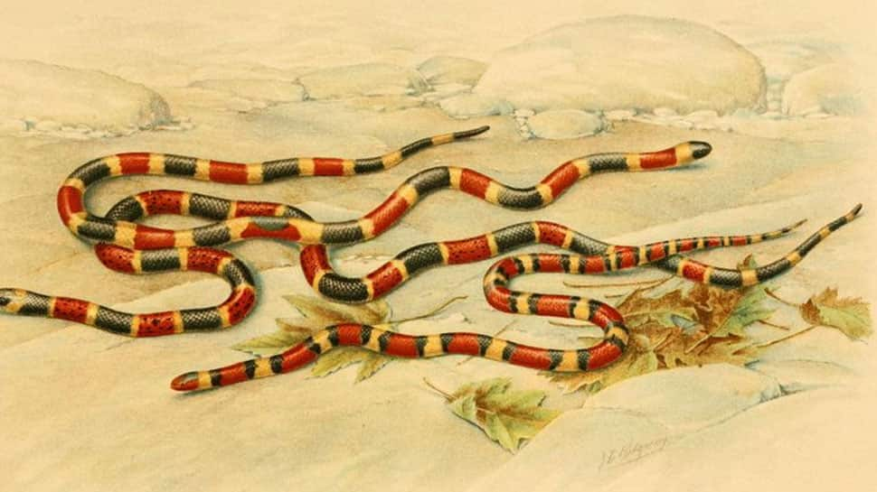 Cenaspis - new snake species found in another snake's stomach