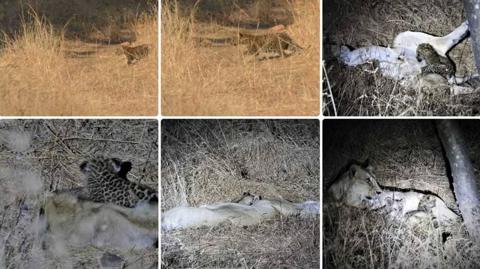 The Jungle Book of Gujarat: Lioness adopts leopard cub, treats it as its own in Gir forest
