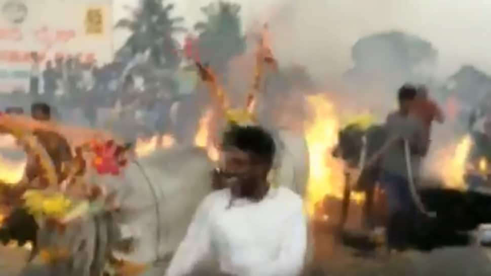 Cattle made to walk over burning hay as part of Makar Sankranti celebrations in Karnataka: Watch