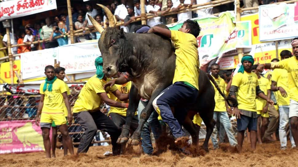 On Day 1 of Jallikattu, 48 bull-tamers injured