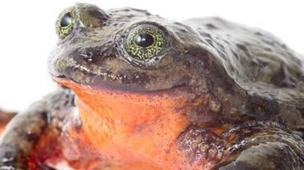 World's loneliest frog Romeo finds love, set to meet Juliet on Valentine's Day!