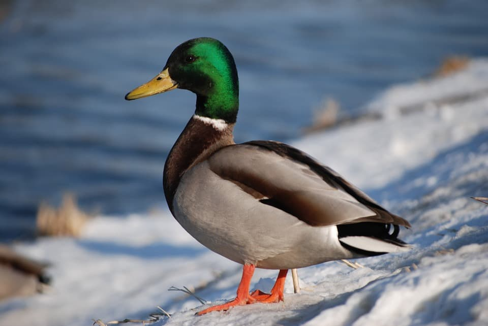 'World's loneliest duck' Trevor dies after dog attack