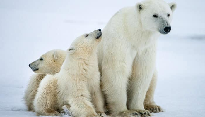 Russian archipelago declares emergency after mass 'invasion' of polar bears