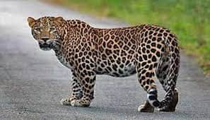 Leopard seen in Rangamatia area of Bhubaneswar