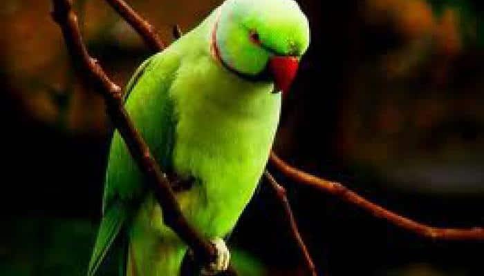 'Opium-addicted' parrots wreaking havoc in Madhya Pradesh