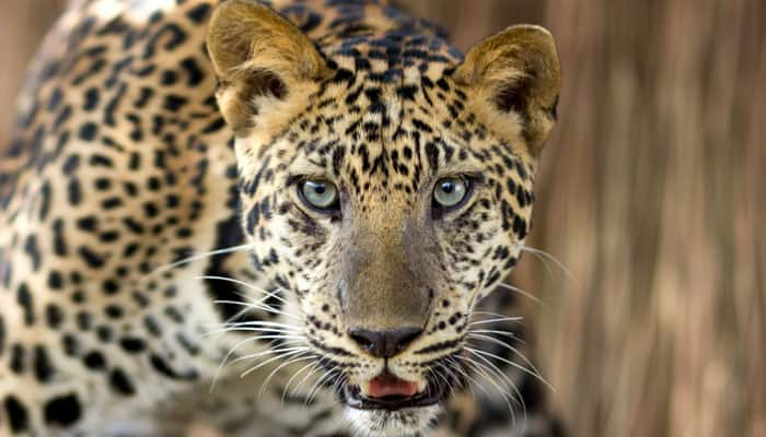 Mob kills leopard in Gujarat's Surat
