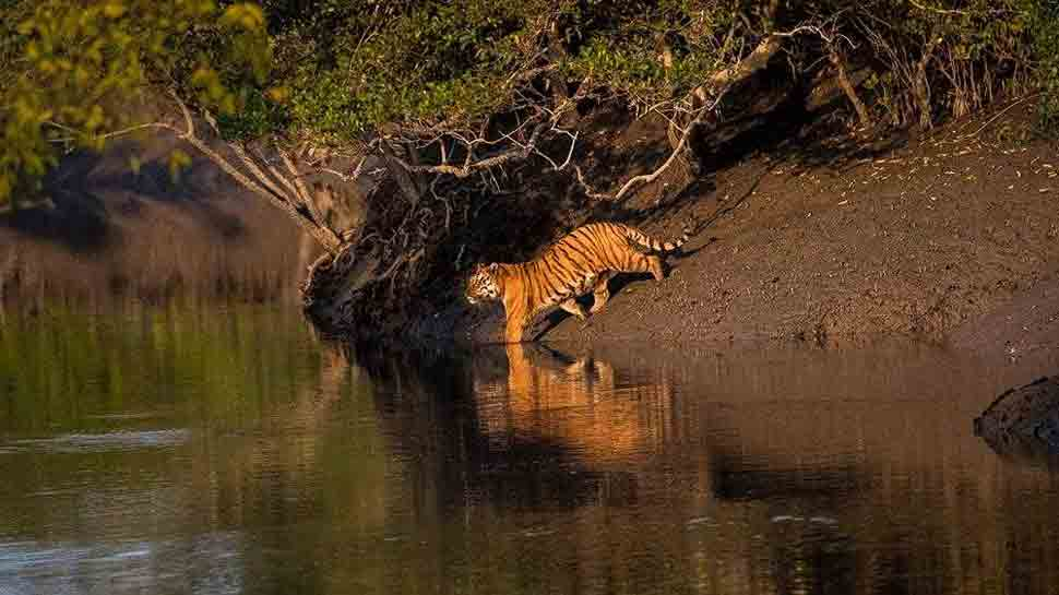 Big Boss: A beckon of light for tiger conservationists in the Sunderbans