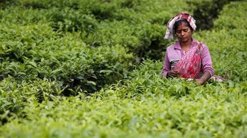Unaware of 'paid leave' concept, tea garden workers in Bengal lose day's pay