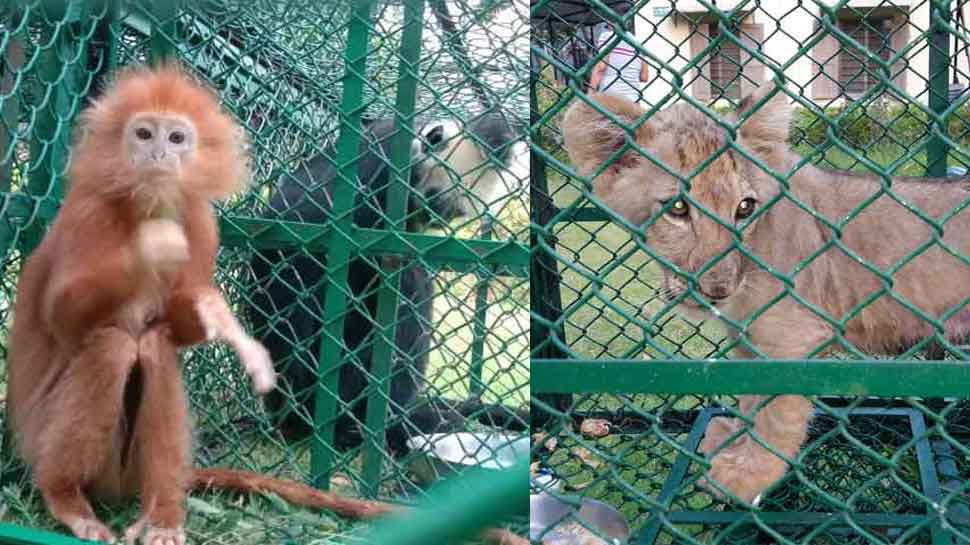 Lion cub, 3 rare white-headed langurs rescued in Kolkata