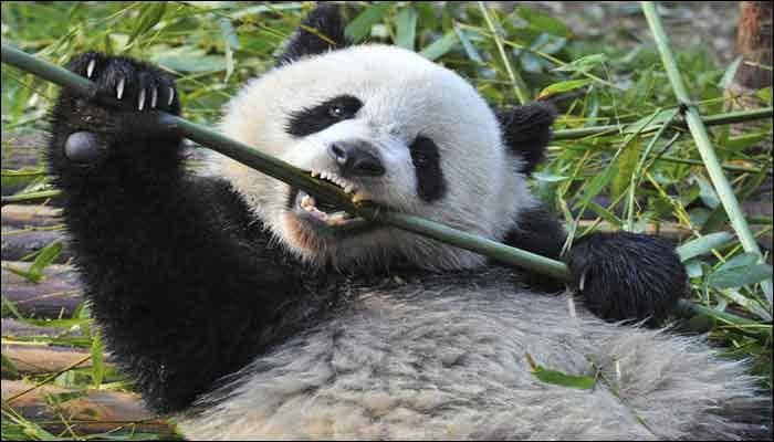 Japan, China likely to sign panda research pact