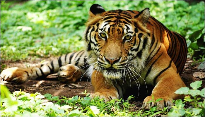 Hunter becomes the hunted: Tigers' battle for survival