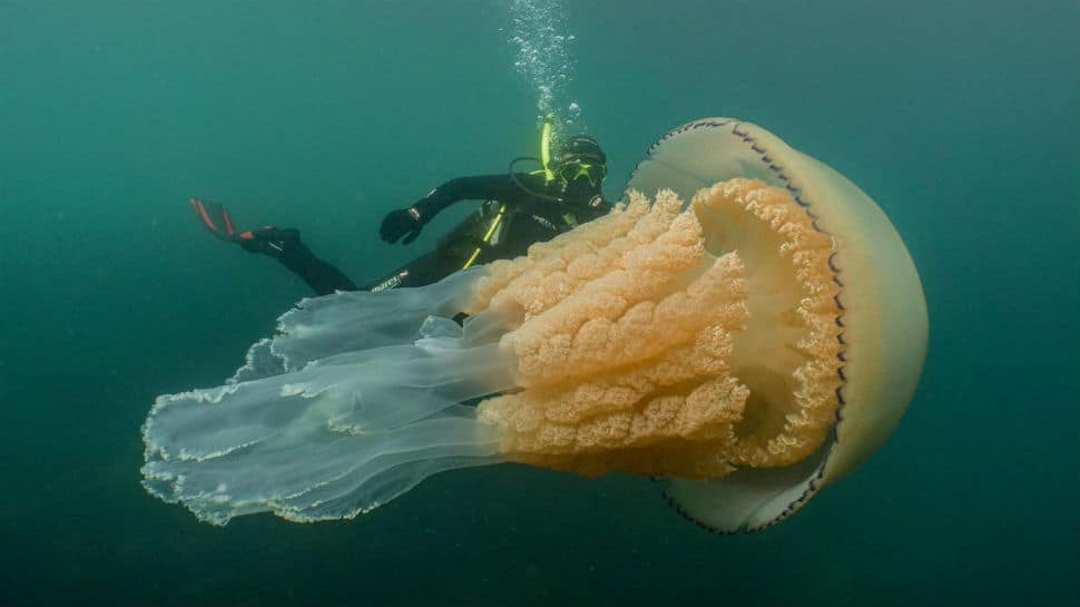 Human-sized jellyfish stuns, then delights marine conservationist diver
