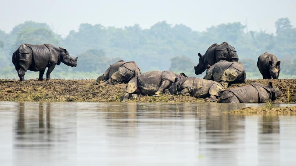 In pic: Rhinos finding shelter on a piece of land amid floodwater in Assam