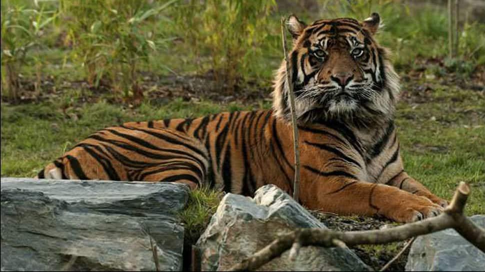 Tiger Census: Madhya Pradesh tops the count followed by Karnataka, Uttarakhand