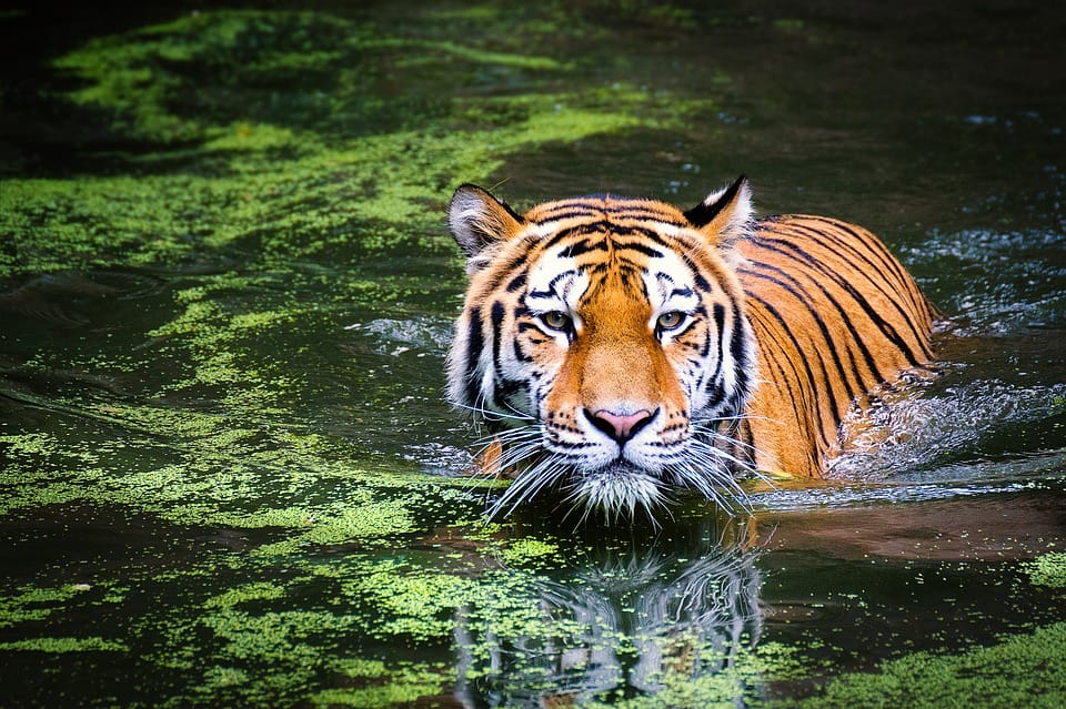 Tiger turnaround: How over 75,000 frames captured by camera traps helped