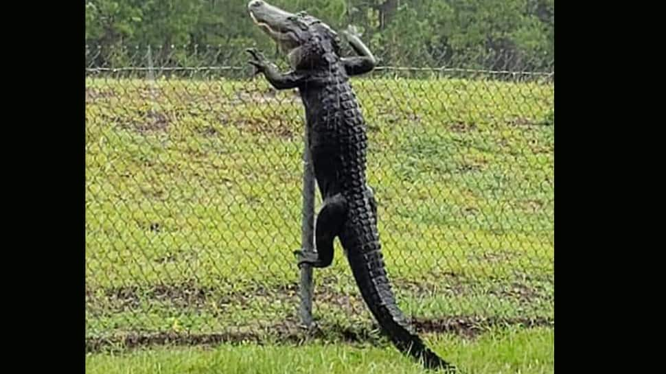Shocking video shows alligator climbing fence at US Navy air base