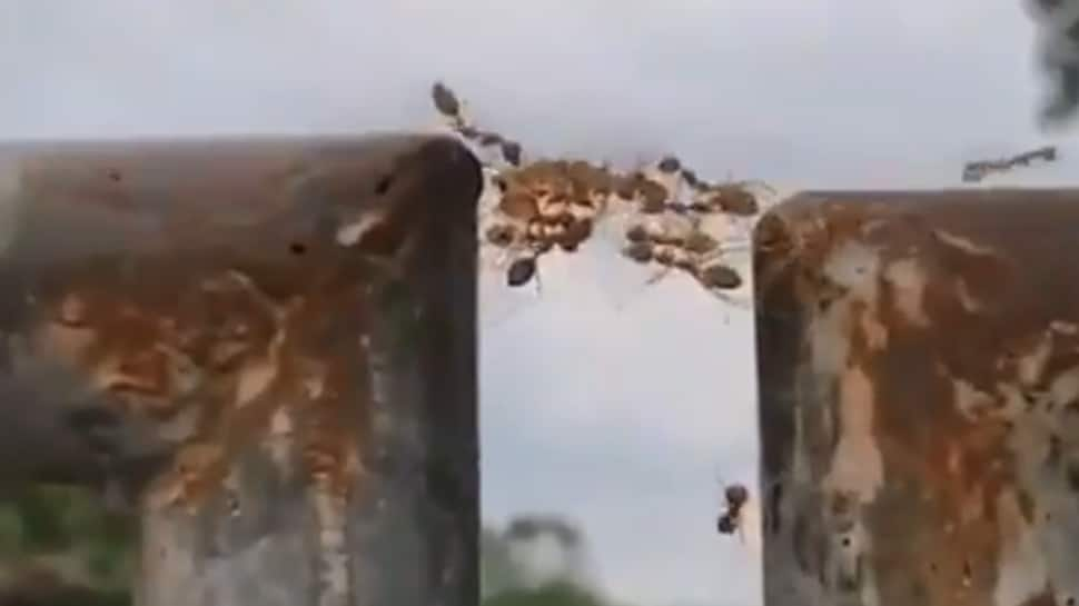 We 'ant' falling! Ants prove true strength lies in unity in this viral video—Watch