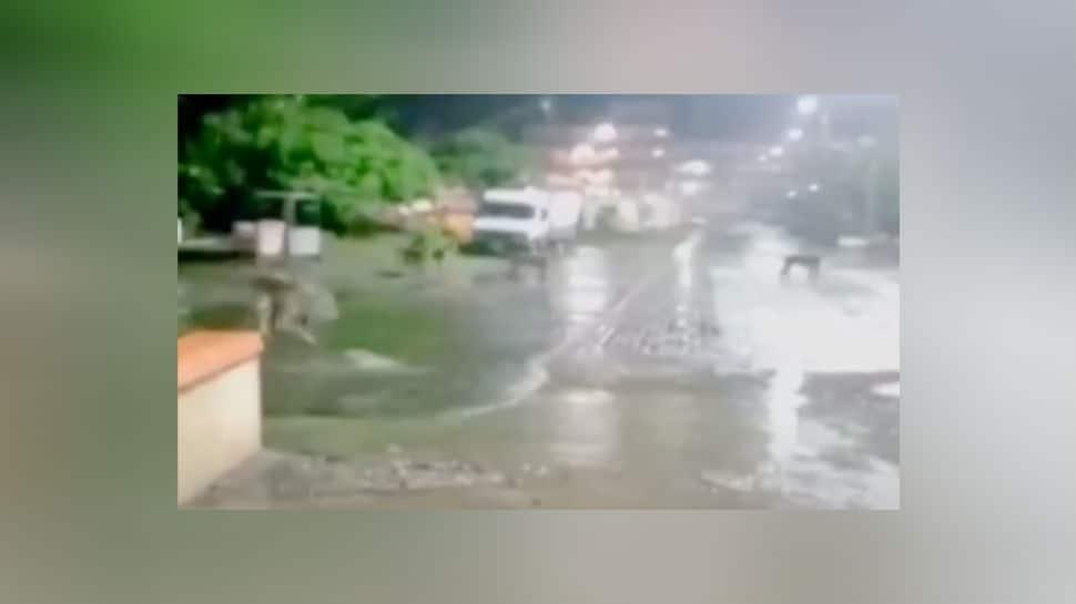 Pride of lions walk into Gujarat's Junagarh, sent back to Gir Sanctuary