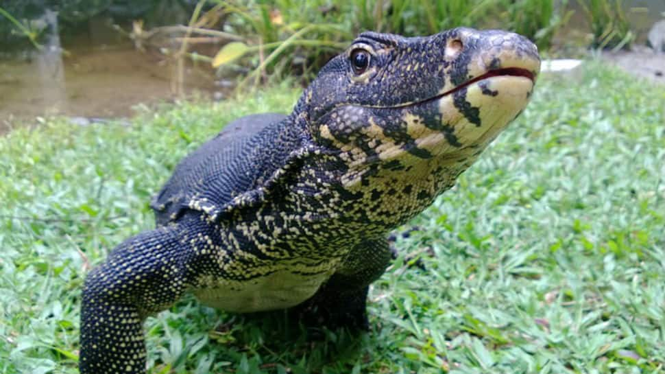 Video: Snake hunts rats but then, a monitor lizard shows up. Here's what happens next