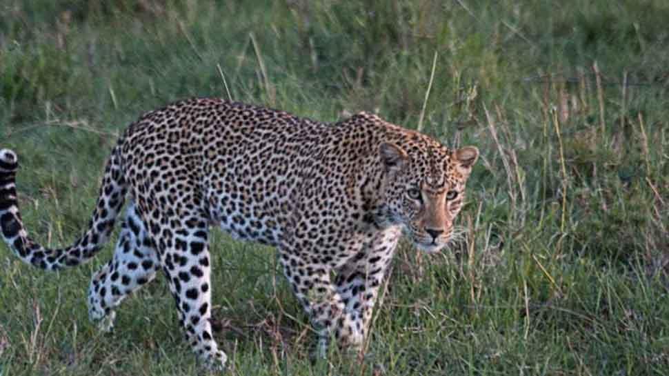Man-eater leopard shot dead by forest officials in Uttarakhand's Pithoragarh
