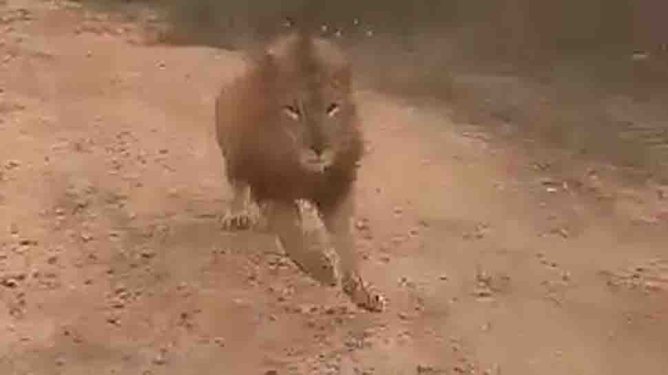 Video shows lion chasing tourists on safari in Karnataka's Bellary - Watch
