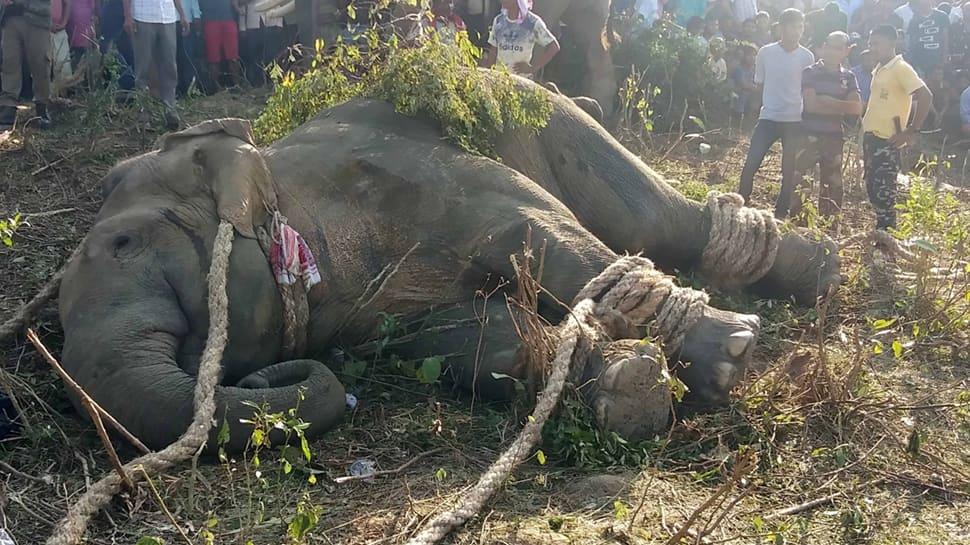 Captured rogue elephant 'Laden' dies in captivity in Assam