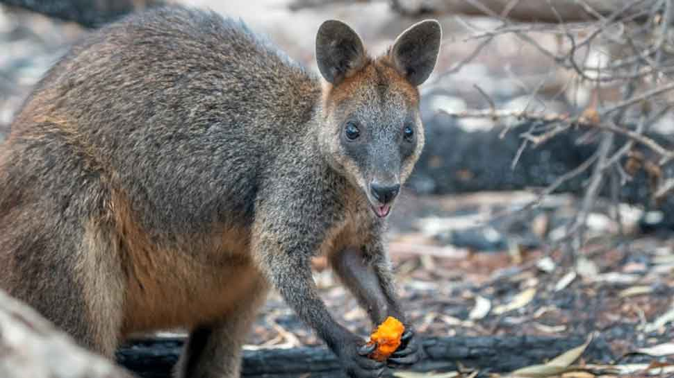 Wallaby eats air-dropped carrot in Newnes