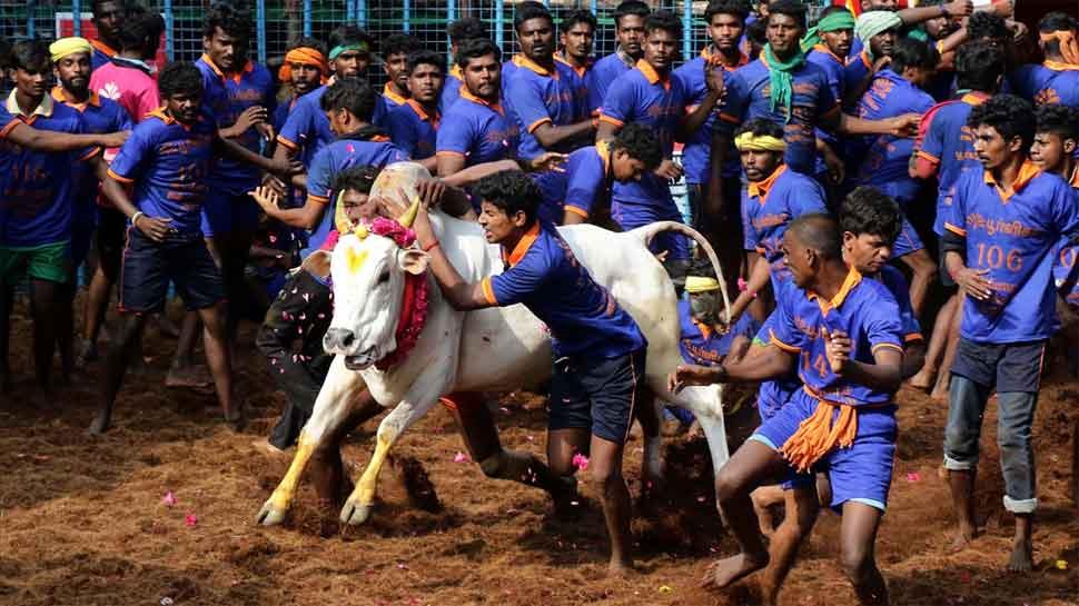 Jallikattu held in Tamil Nadu's Madurai; over 700 bulls participate