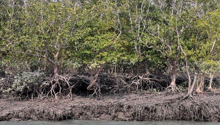 Bengal mangroves