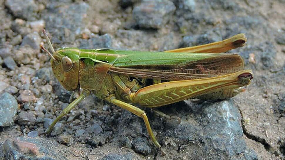15 Madhya Pradesh districts under locust attack