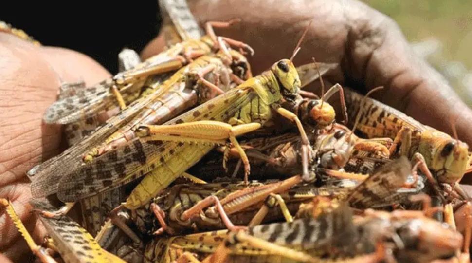 Huge swarms of locusts likely to reach Uttar Pradesh's Gautam Buddh Nagar on June 28, government on alert