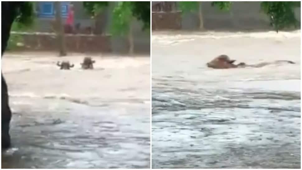 Local flood washes away cattle in Khijadiya village of Paddhari in Rajkot; see here