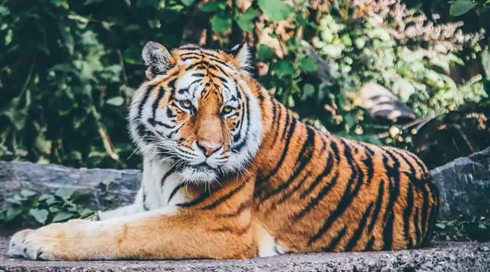 India now has nearly 70% of the global tiger population, says Union Environment Minister Prakash Javadekar