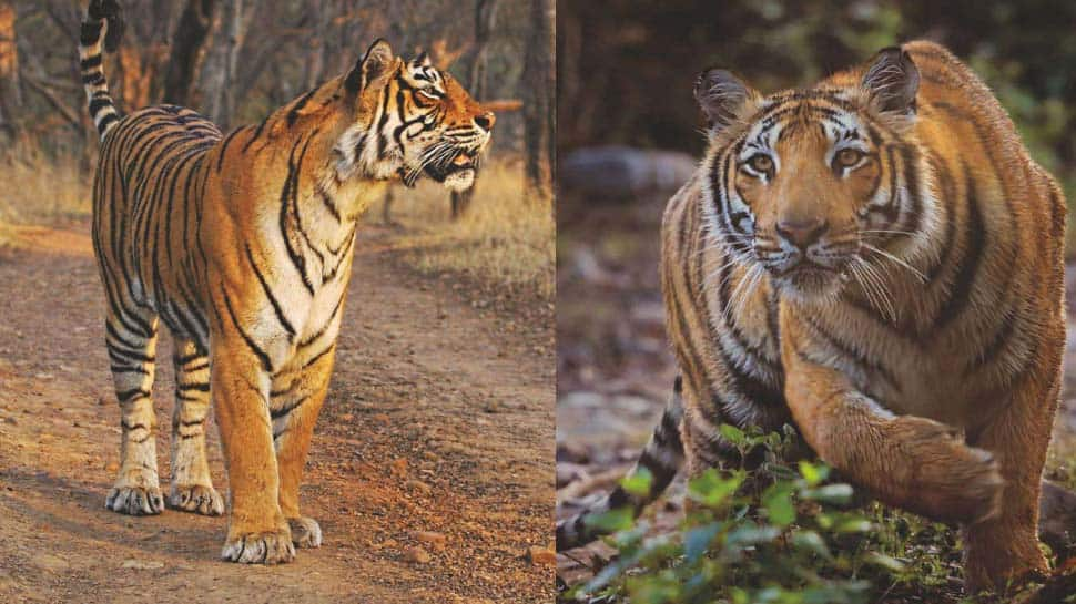 India witnesses increase of 741 tigers within 4 years, nation houses 70% of global tiger population