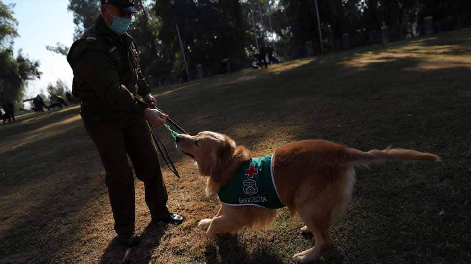 "Four dogs have been selected for the initial training, a mix of labradors and golden retrievers who sport green ""biodetector"" jackets for their ta"