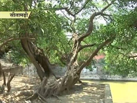 Sita Ashok tree at Ram Temple