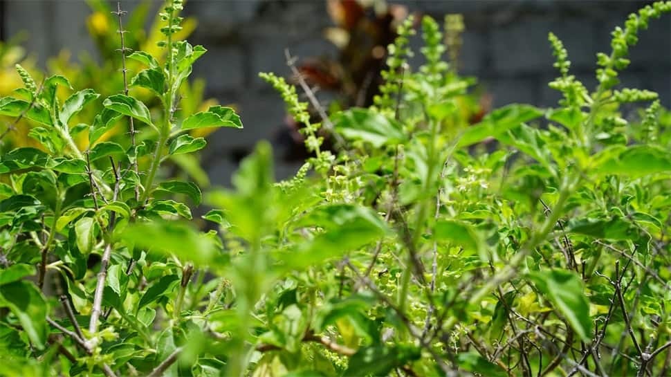 Tulsi Pujan Diwas 2020: Why it is celebrated on December 25?