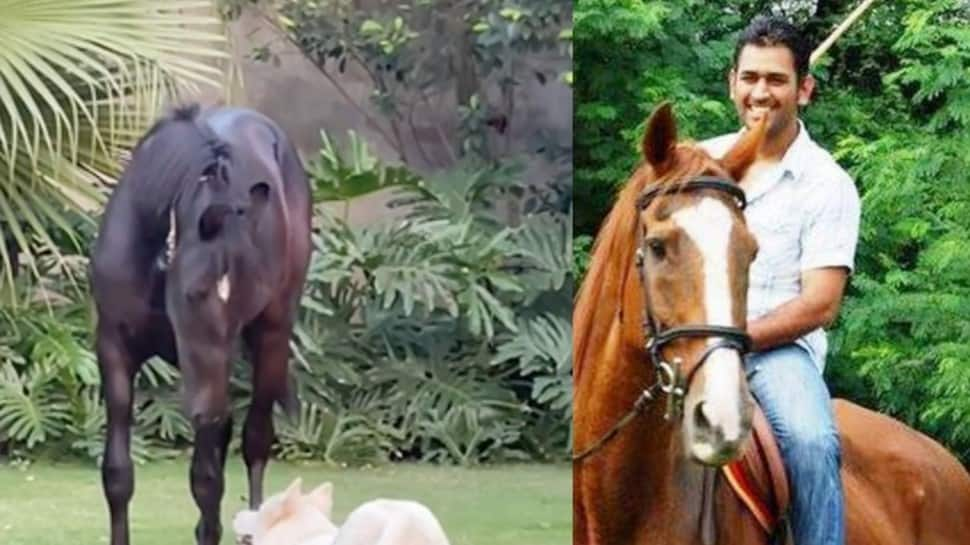 IPL 2021: CSK skipper MS Dhoni adds horse to his farmhouse, names it 'Chetak' – WATCH