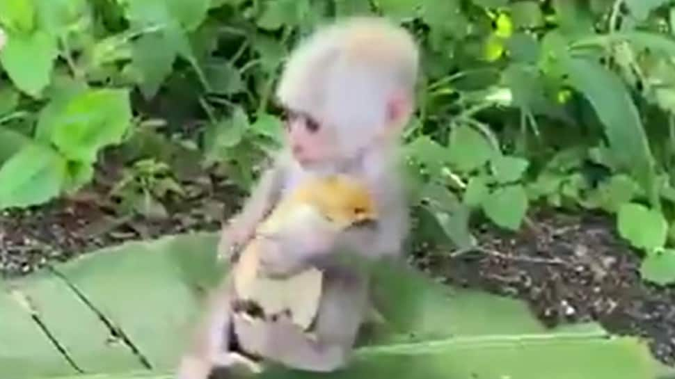 Monkey calms down little chicken with a kiss, viral video melts hearts online