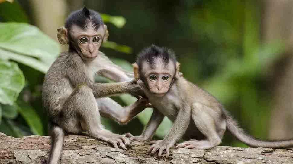 Gruesome! 30 monkeys stuffed in gunny bags, beaten to death in Karnataka thumbnail