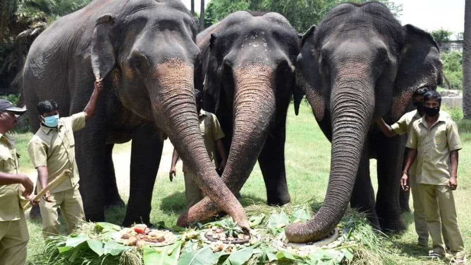 World Elephant Day: Pachyderms in Delhi, Hyderabad zoos had a feast day!