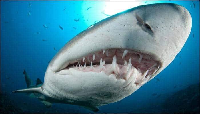 39 Australian shark species on the verge of extinction: Report thumbnail