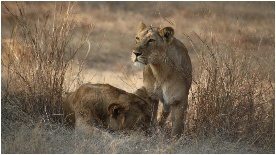 Jungle safari in Gujarat's Gir forest opens to public after four months thumbnail
