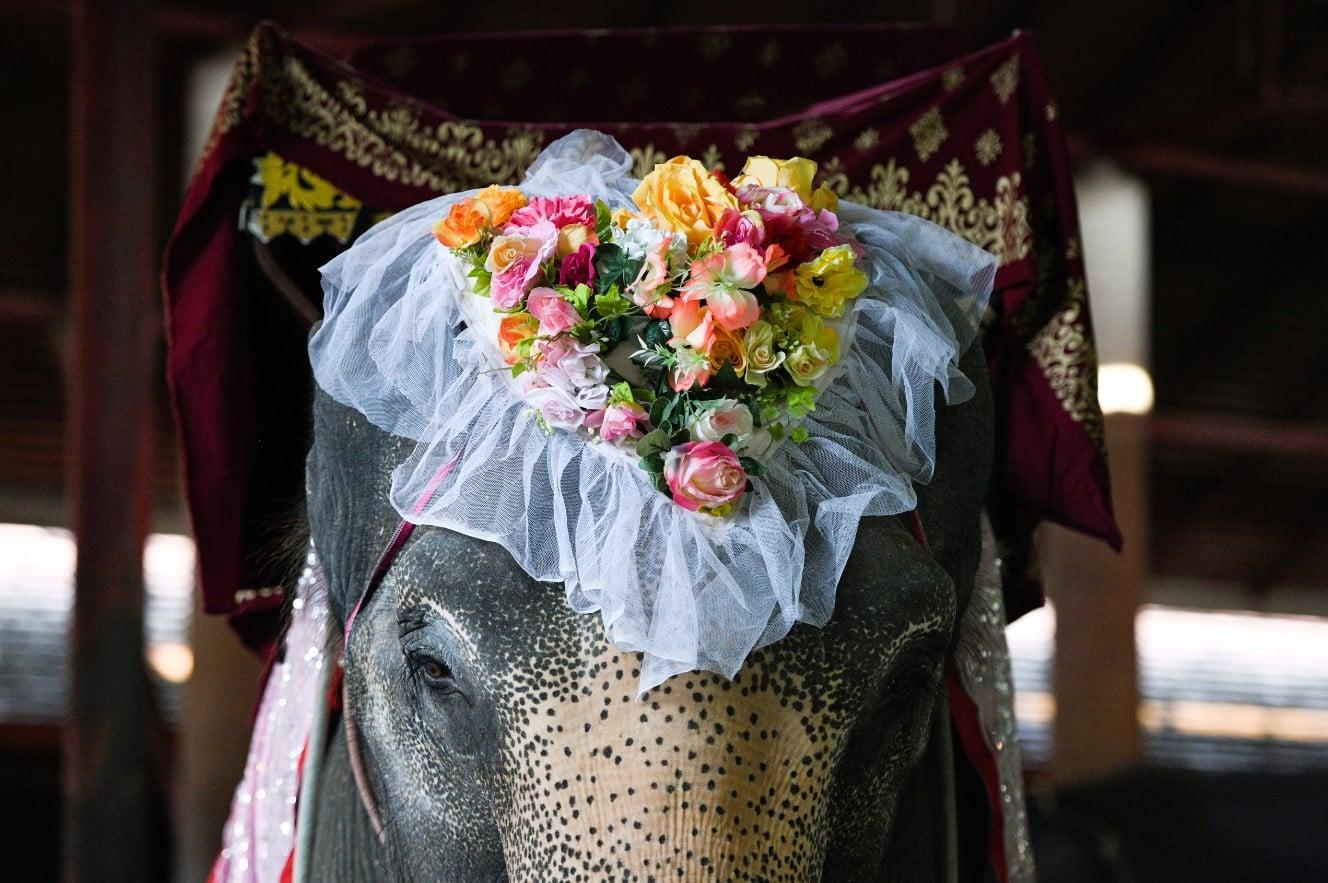 थाईलैंड में जोड़े हाथी पर गाँठ बाँधते हैं