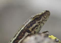 How humans could grow new limbs like lizards | Science News